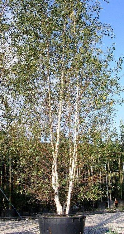 Bétula Alba Verrucosa 3 troncs