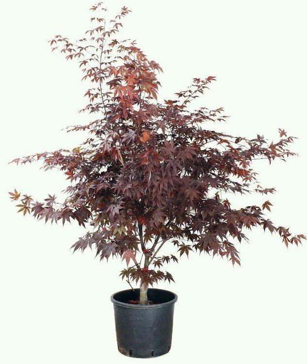 Acer Palmatum Bloodgood 100/125cm
