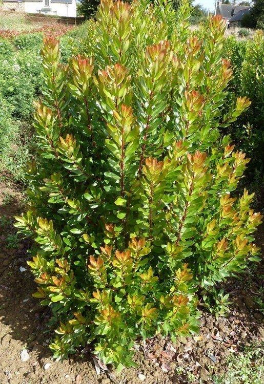Arbustus Unedo 80/100cm