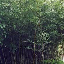 Bambou Phyllostachys Bisetti 90/100+ 5/6 Chaumes