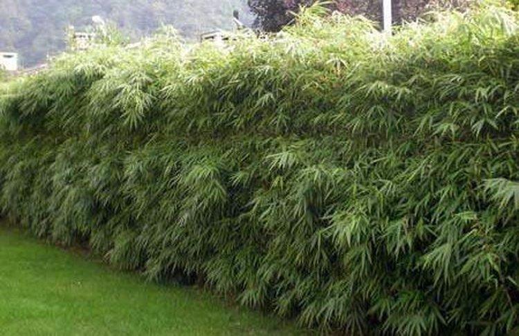 Bambou Fargesia Rufa clt.10L