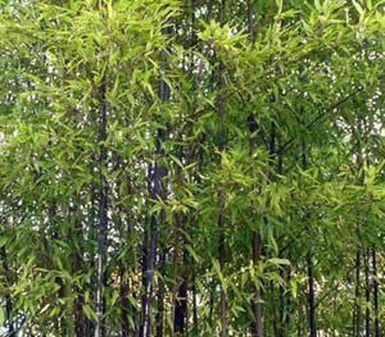 Bambou Phyllostachys Nigra 150/200