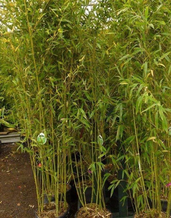 Bambou Phyllostachys Aurea 150/200