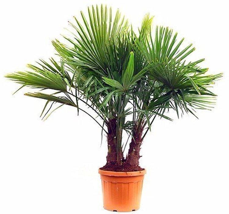Palmier 150/200 3 troncs clt.70-90