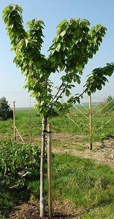 Cerisier 1/2 tige calibre 8/10 pot.15-18L
