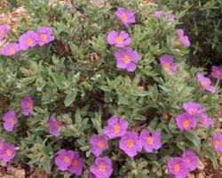 Nos végétaux en vente - CORTADERIA SELLOANA (GYNERIUM) « HERBE DE LA PAMPA »